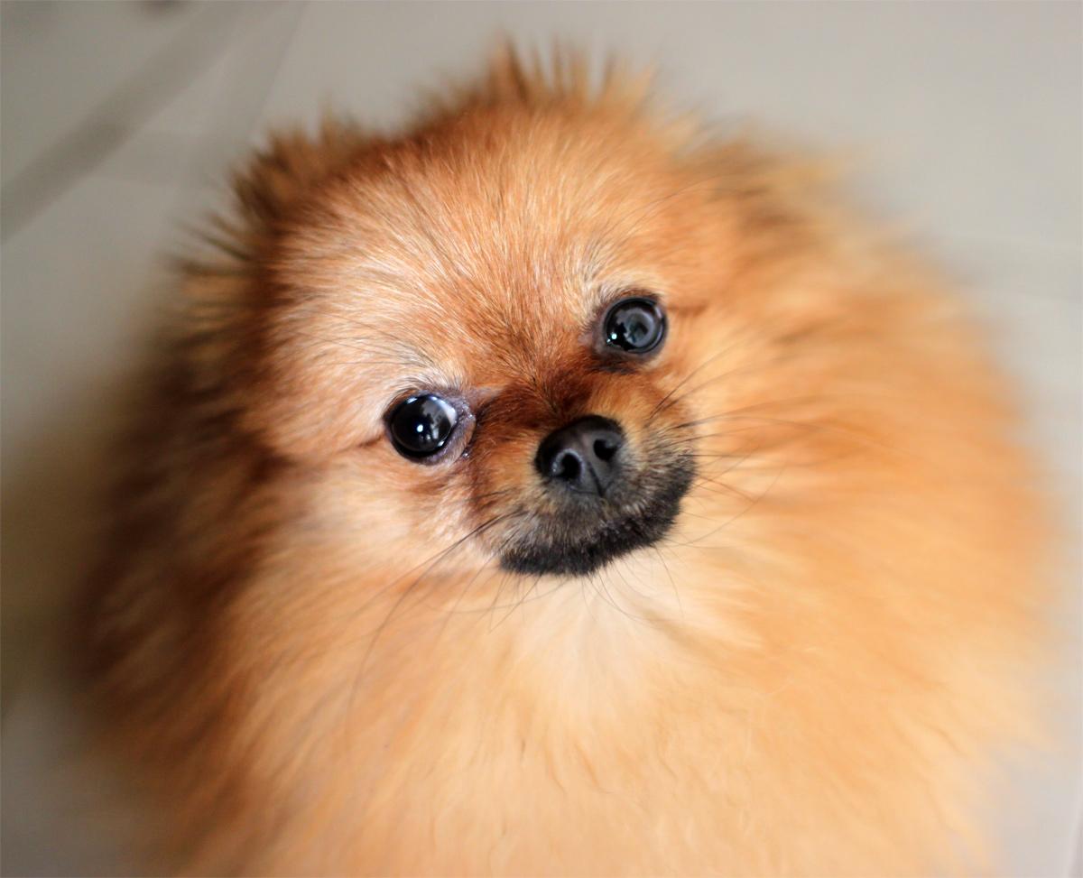 Ritratto cane toys spiz fulvo o volpino della pomerania for Cane volpino