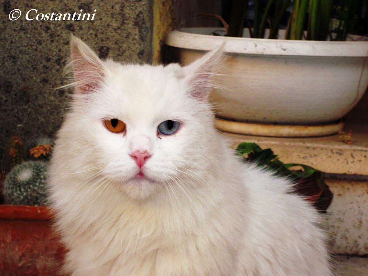 Gatto con occhi diversi juzaphoto for Gatti con occhi diversi
